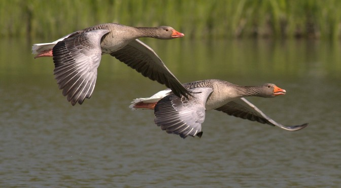 canada-geese-348290_1280